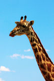 Giraffe on sky portrait Stock Photo