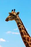 Giraffe on sky portrait stock photo