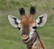 Giraffe smile. Baby giraffe photographed at Garden Route Game Lodge South Africa Royalty Free Stock Images