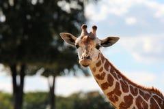 Giraffe. Smiling at the camera Royalty Free Stock Image