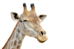 Giraffe smiling on a white background. Royalty Free Stock Images
