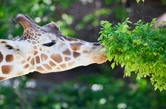 Giraffe snack2 Royalty Free Stock Images