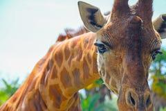 Giraffe snout στενός επάνω Στοκ Εικόνες