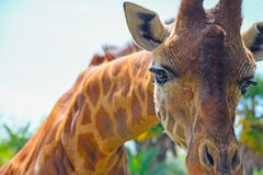 Giraffe snout close up Stock Images
