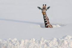Giraffe in snow. Giraffe in deep snow. Looking a bit confused Royalty Free Stock Image