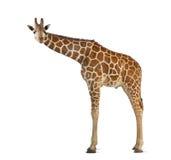 Giraffe somalie Image stock