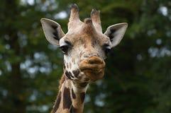 Giraffe& x27 ; sourire de s Images stock
