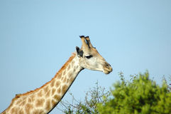 Giraffe in South Africa. Active Giraffe - Kameelperd (Giraffa camelopardalis) standing in the grassland in a game park in South Africa Royalty Free Stock Photos