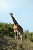 Giraffe in South Africa. Active Giraffe - Kameelperd (Giraffa camelopardalis) standing in the grassland in a game park in South Africa Royalty Free Stock Photography