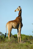 Giraffe in South Africa. Active Giraffe - Kameelperd (Giraffa camelopardalis) standing in the savanna looking back in a game park in South Africa Royalty Free Stock Image