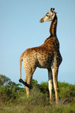 Giraffe in South Africa. Active Giraffe - Kameelperd (Giraffa camelopardalis) standing in the savanna looking back in a game park in South Africa stock images