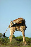 Giraffe in South Africa. Giraffe - Kameelperd (Giraffa camelopardalis) being active by looking back in a game park in South Africa Stock Images