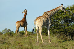 Giraffe in South Africa Stock Images