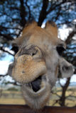 Giraffe, South Africa. Close-up with shallow depth of field of giraffe, South Africa Stock Photo