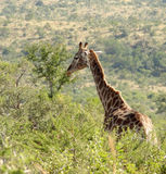 Giraffe in South Africa Stock Photography