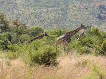 Giraffe in South Africa Royalty Free Stock Photo