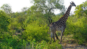 Giraffe in South Africa Stock Photo