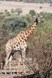 Giraffe south africa with much more words. Only for your request in order to satisfy you with blab la blab la blab la stock photography