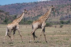 Giraffe south Africa with much more words only for your request royalty free stock image