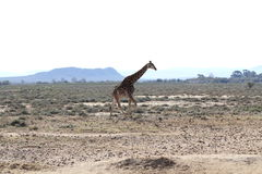 Giraffe in South Africa Stock Photos