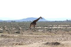 Giraffe in South Africa Royalty Free Stock Image