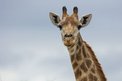 Giraffe in South Africa. Giraffe portrait in South Africa royalty free stock photos