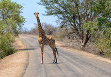 Giraffe in South Africa`s Kruger National Park Stock Images