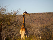 Giraffe in the South African Bush Royalty Free Stock Photo