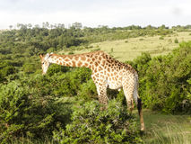 Giraffe South Afrika East Cape Royalty Free Stock Image