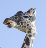 Giraffe speaking Royalty Free Stock Photography