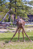 Giraffe Split Legged Eating Grass and Looking at the Camera Royalty Free Stock Image