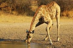 Giraffe - Splits for spits Royalty Free Stock Image