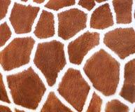 Giraffe Spots Fur Texture Stock Photo