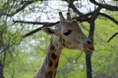 Giraffe in spring Royalty Free Stock Images