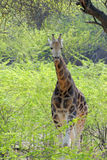 Giraffe in spring Stock Photos