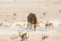Giraffe and springbok drinking water Royalty Free Stock Images