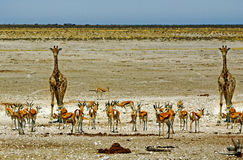 Giraffe and springbok next to a busy waterhole in Etosha national park Stock Images