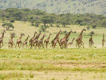 Giraffe stampede. A herd of giraffes is stampeded on the serengetti tanzania Royalty Free Stock Photos