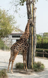Giraffe stand Royalty Free Stock Photo
