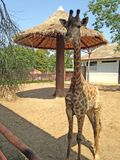 Giraffe stand in the shelter and background big tall umbrella for it at the Bueng Chawak Chalerm Phrakiat. royalty free stock photo