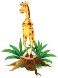 A giraffe standing above a stump Stock Photo
