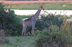 GIRAFFE STANDING IN AFRICAN BUSH CLOSE TO WATER stock images