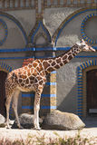Giraffe standing against Moorish building Royalty Free Stock Image