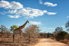Giraffe standing along the road Stock Image