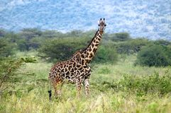Giraffe standing amongst acacia bushes Royalty Free Stock Images