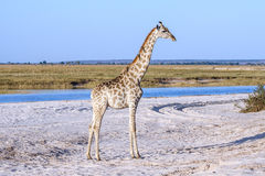 A giraffe standing at the beach in Botswana. A giraffe standing at the beach at Chobe national park in Botswana at the border to Namibia Royalty Free Stock Images
