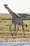 A giraffe standing at the beach in Botswana. A giraffe standing at the beach at Chobe national park in Botswana at the border to Namibia Royalty Free Stock Image