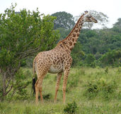 A giraffe standing in a forrested area Royalty Free Stock Images