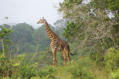 A giraffe standing in a forrested area Royalty Free Stock Photography