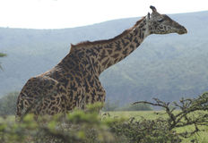 A giraffe standing in a forrested area Stock Photography